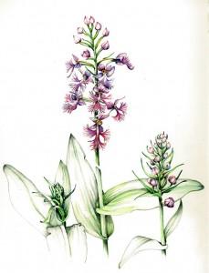 Platanthera-Grandiflora