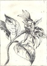 Sunflower etching.4
