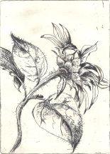 Sunflower etching.4