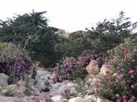 oleander growing in a wadi