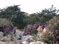 oleander growing in a wadi