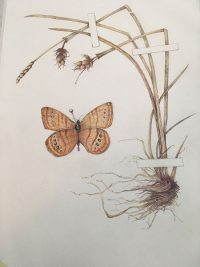 Mitchell-satyr-butterfly
